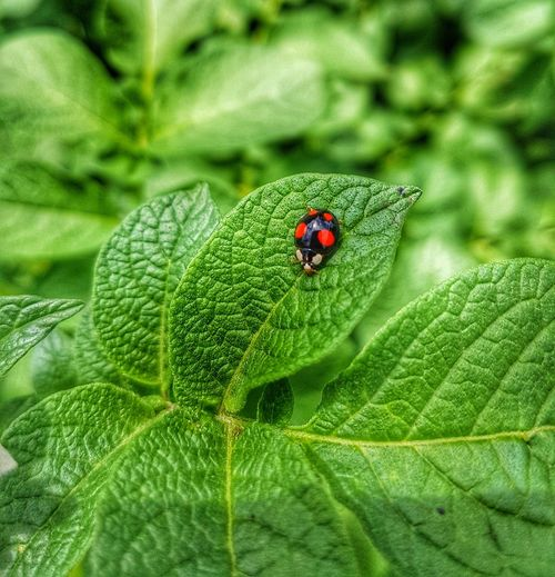 Bug Plant Insect Animals In The Wild Animal Themes One Animal Leaf Green Color Ladybug Wildlife Red No People Close-up Nature Day Outdoors