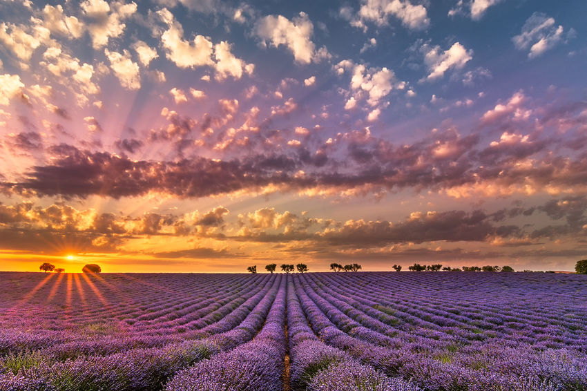 Summer sunset. Summer Lavender Lavender Purple Lavender Field Sunset Sunburst Clouds And Sky Composition Happiness Provence Colors Convergence Tourist Attraction  Travel Destination Outdoors Yellow Blue Long Summer Days July Freshness Scented Landscape Beauty In Nature Tranquility Environment Cloud - Sky Nature Scenics - Nature Sky Field Land Tranquil Scene Flowering Plant Rural Scene