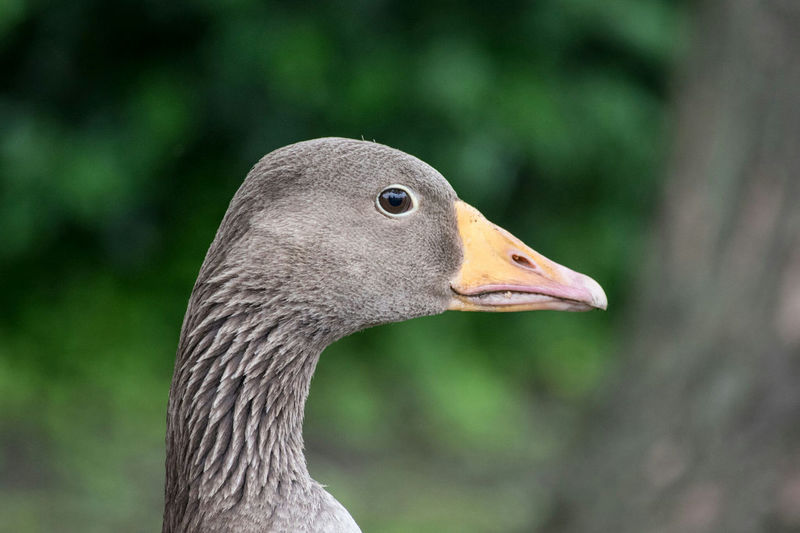 Goose Bird Photography Outdoors Wildlife Animals Nature Hull City Of Culture 2017 Park Hull Bird Animals In The Wild
