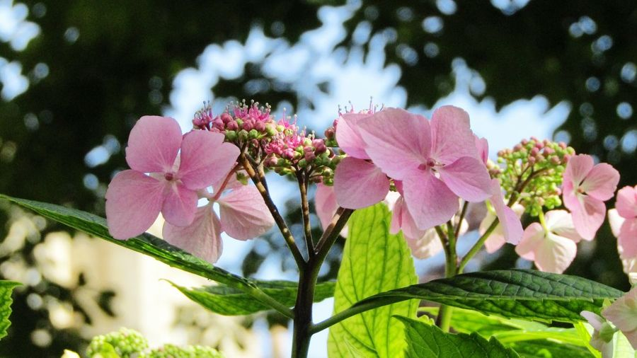 Pink Hydrangeas Pink And Green Buds Greenleaves Nature On Your Doorstep Relaxing Taking Photos Nature Summer Memories 🌄