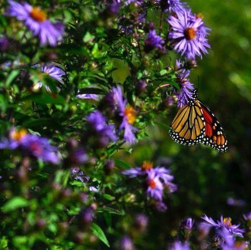 Monarch butterfly Bug Port Rowan Butterfly Nature
