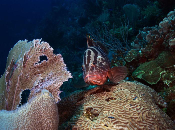 A tiger grouper hanging around the reef in roatan, honduras.