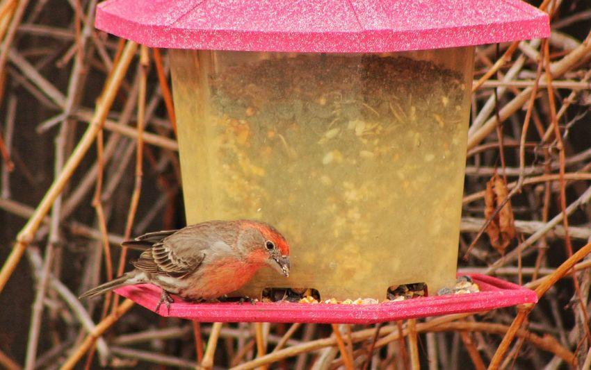 Bird Feeder Bird Feeder House Finch Nature
