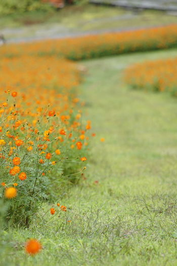 Photography Cosmos Flower Cosmos Sulphureus Yellow Flowers Orange Color Japan Full Frame EyeEm Best Shots Silent Moment Softness Nature Beauty In Nature Outdoors No People Grass Green Color Water Autumn Day Freshness Flower