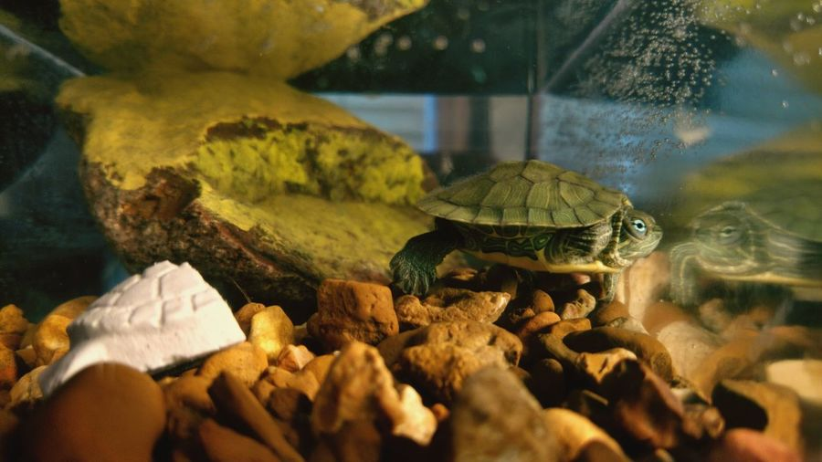 Close-up of turtle swimming in tank