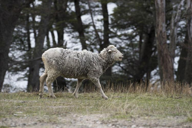 Sheep Walking Argentina Domestic Animals Ewe Grass Lamb Mew Nature Patagonia Sheep Standing Travel Trees Walk Wildlife