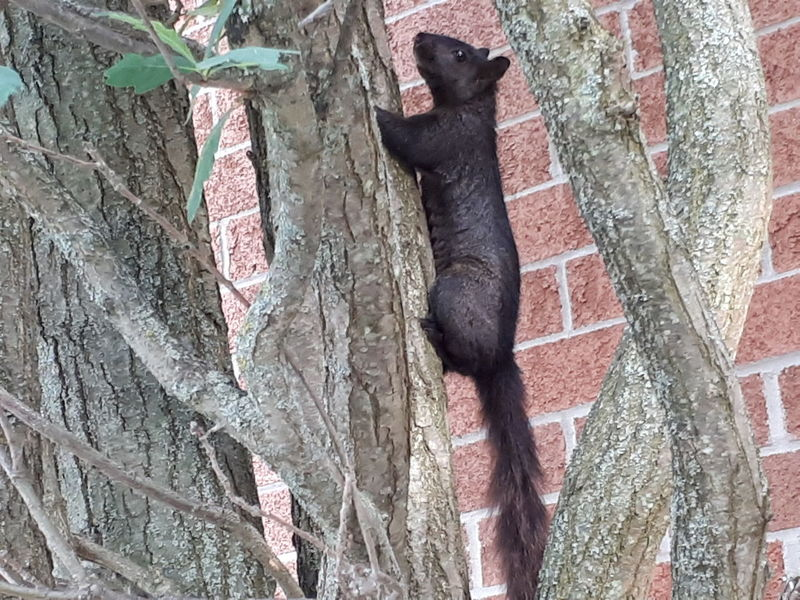 Going squirrelly!! Climbing Climbing Animal Climbing Squirrel Squirrel Closeup Squirrel Black Black Squirrel Tree Animal In Tree Animals In The Wild Cute Cute Squirrel Black Animal Close-up Bark Tree Trunk Wildlife Plant Bark