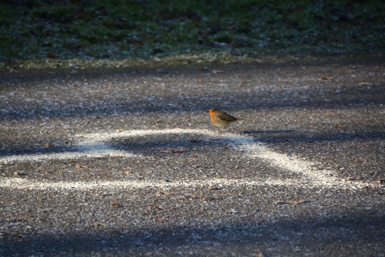 animals in the wild, one animal, animal themes, animal wildlife, bird, day, asphalt, road, outdoors, nature, sparrow, no people, perching