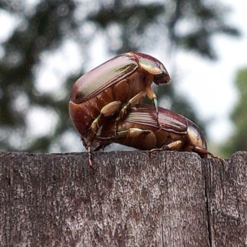 These beetles on my fence got the memo I hope he used insecticidal lube :-\ Humpday Getaroom Doggystyle Doesthismakemeavoyer
