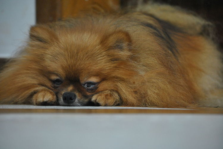Sono~ Spitzalemao Luludapomerania Letssleepingdogslie