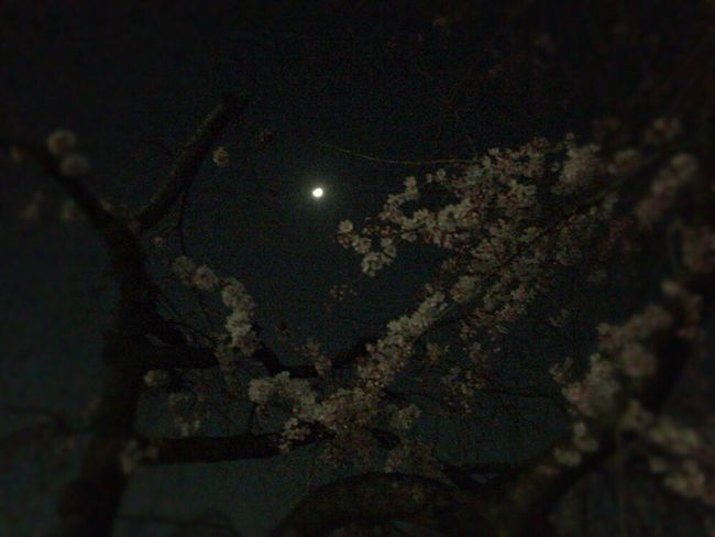 Kyoto Japan Kyoto Night Sakura Kyoto,japan Sakura Kyoto Sakura 2017 Cherry Blossoms Sakura & Moon Kyoto Moon Kyoto Moon Light Kyoto NIght Lights Kyoto Moon Light Sakura