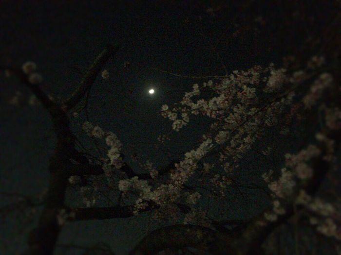 Kyoto Japan Kyoto Night Sakura Kyoto,japan Sakura Kyoto Sakura 2017 Cherry Blossoms Sakura & Moon Kyoto Moon Kyoto Moon Light Kyoto NIght Lights Kyoto Moon Light Sakura