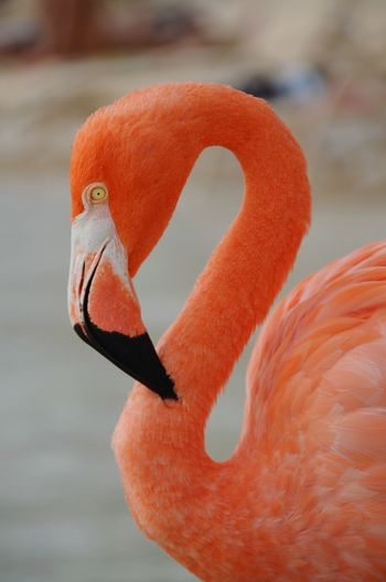 Renaissance Private Island, Aruba Caribbean Caribbean Sea Baby Beach, Aruba Aruba Aruba♥ Aruba One Happy Island Surprise Lovely Flamingos Renaissance Private Beach, Renaissance Private Island Flamingo Bird Confined Space Beak Portrait Pink Color Feather  Red Swan Close-up Animal Neck Tropical Bird Water Bird Animal Eye Mandarin Duck
