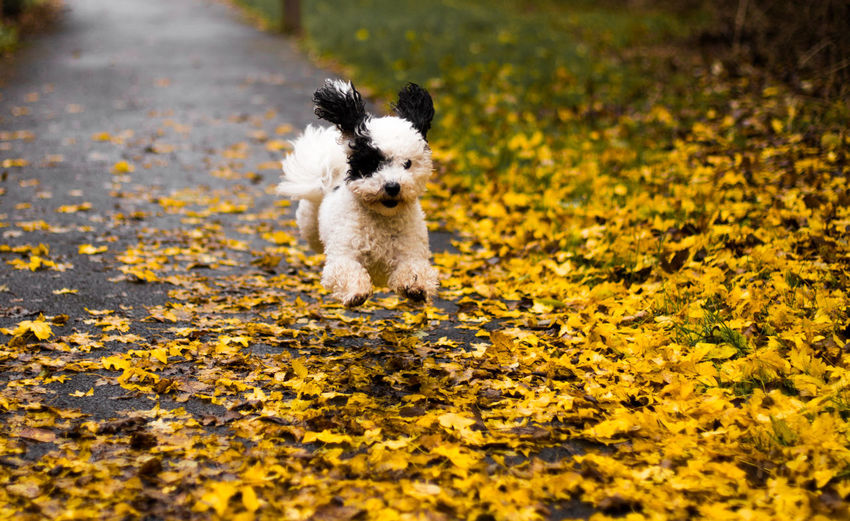 Run Milo Run! 6D Animal Themes Autumn Beauty In Nature Bichpoo Canon Day Dog Dogs Domestic Animals Milo Nature No People One Animal Outdoors Pets Poochon