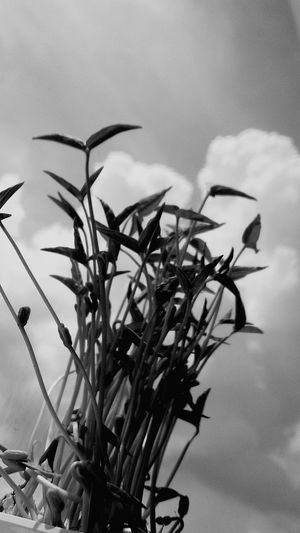 Sproutsphotography Sprouts And Sky Sprout And Sky Black And White Blackandwhite Black & White ต้นอ่อน ต้นอ่อนถั่วงอก ต้นอ่อนถั่วเขียว Sprouts Sprout Sprout🌱 Sprouts 🌱 Sprouts New Bird Tree Flower Leaf Sky Close-up Animal Themes Cloud - Sky