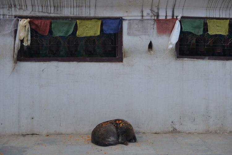 Stray dog sleeping on footpath by building