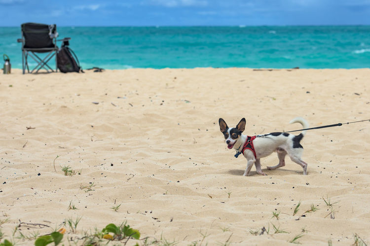 Dogs on a tropical beach Animal Themes Animals Beach Day Dog Dogs Hawaii Holiday Kailua Beach Leash Mammal Nature No One No People Oahu Outdoors Pet Pets Sand Sea Summer Tropical USA Water Sommergefühle