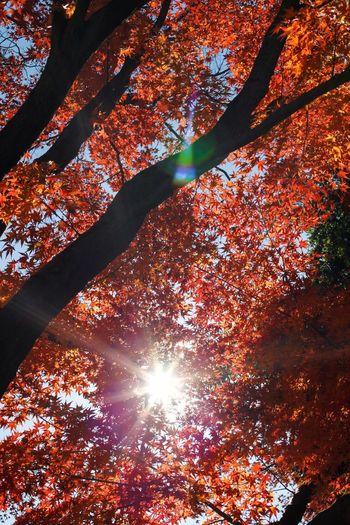 紅葉🍁 Tree