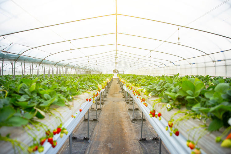 Panoramic view of vegetables in greenhouse