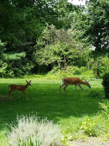 Afternoon vistors Deer Animal Themes Nature Outdoors Animals In The Wild Deer In My Yard Grass Wildlife Two Deer Fawn Doe Summer Growth Tree Green Color Two Animals