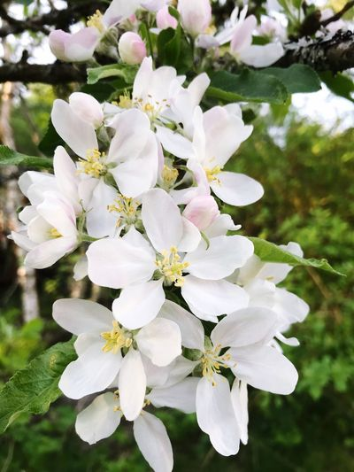 Flower Flowering Plant Plant Fragility Growth Vulnerability  Beauty In Nature Tree Nature Springtime Close-up Day Blossom White Color Flower Head Inflorescence Pollen No People Petal Freshness