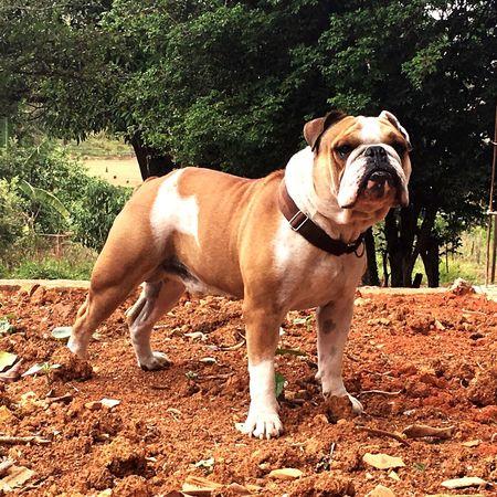 Bruce 🐶🇧🇷✌🏽️ Animal Themes Dog Bulldog English Bulldog Lovely Pet Portraits