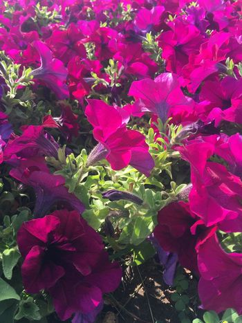 Growth Flower Purple Plant No People Nature Petal Beauty In Nature Outdoors Day Leaf Blooming Fragility Petunia Close-up Freshness Flower Head