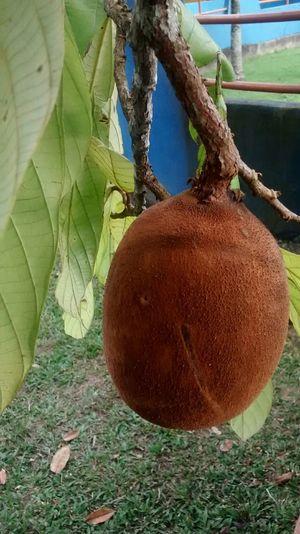 Cupuaçu Fruto Amazônico