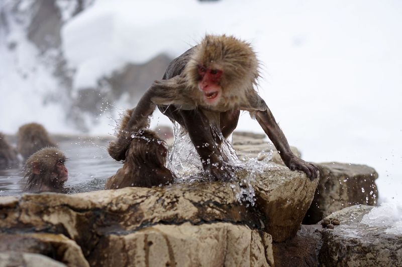 Cold Temperature Snow Winter Animal Themes Animals In The Wild Japanese Macaque Mammal Hot Spring Nature Outdoors No People Animal Wildlife Water Day Monkey Close-up Sky Motion Capture Waterdrops Shigakogen  at Jigokudani-Snow-Monkey-Park in Nagano Prefecture,Japan Travel Destinations Snow Monkeys Shigakogen