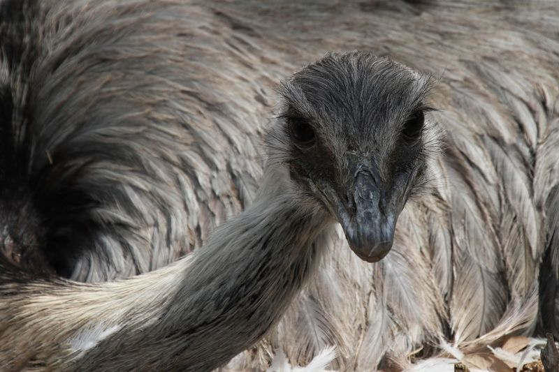 Close-up portrait of emu relaxing on field