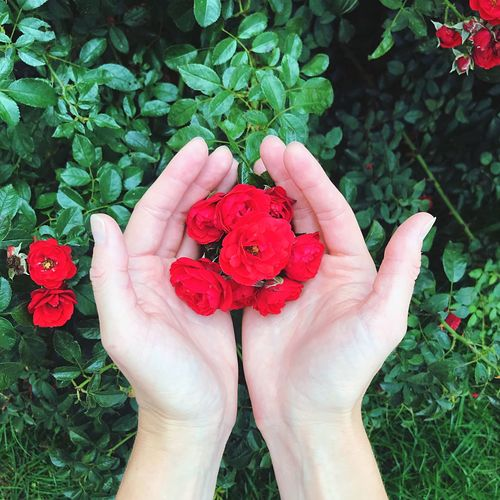 High angle view of hand holding red flower