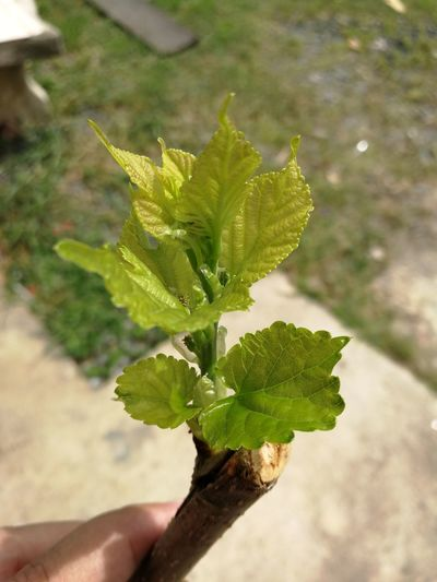 Mulberry Mulberry Tree MulberryBush Mulberry Leaf Green Leaf Mulberry Cutting Branch Mulberry Green Born Leaf Growth Plant Green Color Nature Holding
