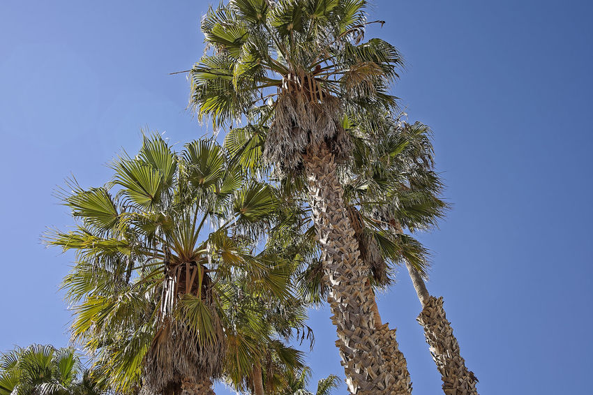 Venice Beach Beauty In Nature Blue Branch Clear Sky Close-up Day Green Color Growth Low Angle View Nature No People Outdoors Pacific Ocean Palm Tree Sky Tree Tree Trunk