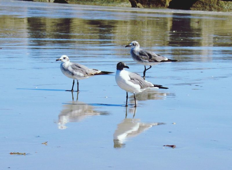 Reflection Bird Animals In The Wild Animal Themes Animal Wildlife Nature Day No People Outdoors Beauty In Nature Sand Piper Birds Reflections Beach Nature Beauty In Nature Three Bird Watching Sand Ocean Sea