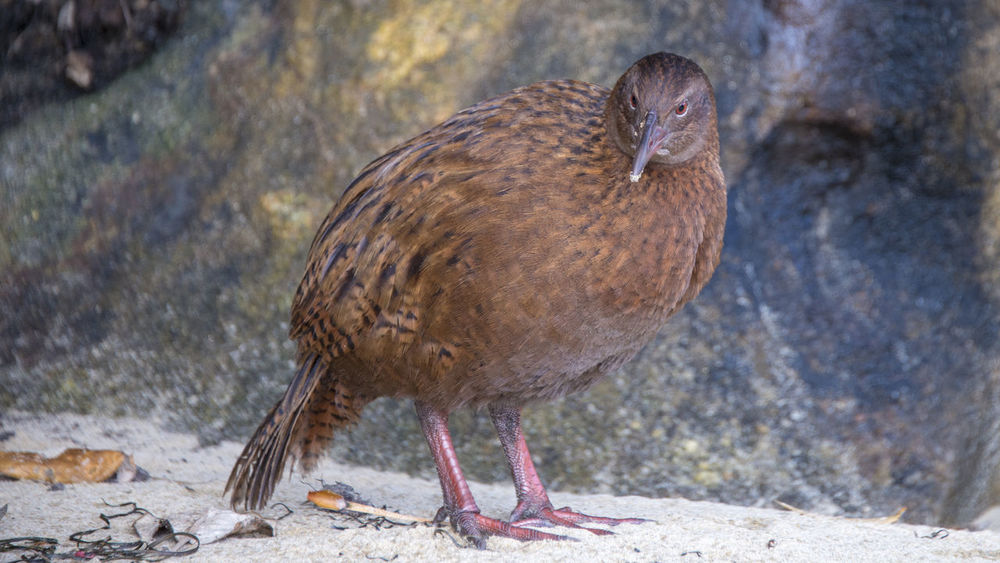Bird Photography NZ South Island NZ Birds Animal Themes Animal Wildlife Animals In The Wild Bird Birds Close-up Day Mourning Dove Nature No People One Animal Outdoors Weka