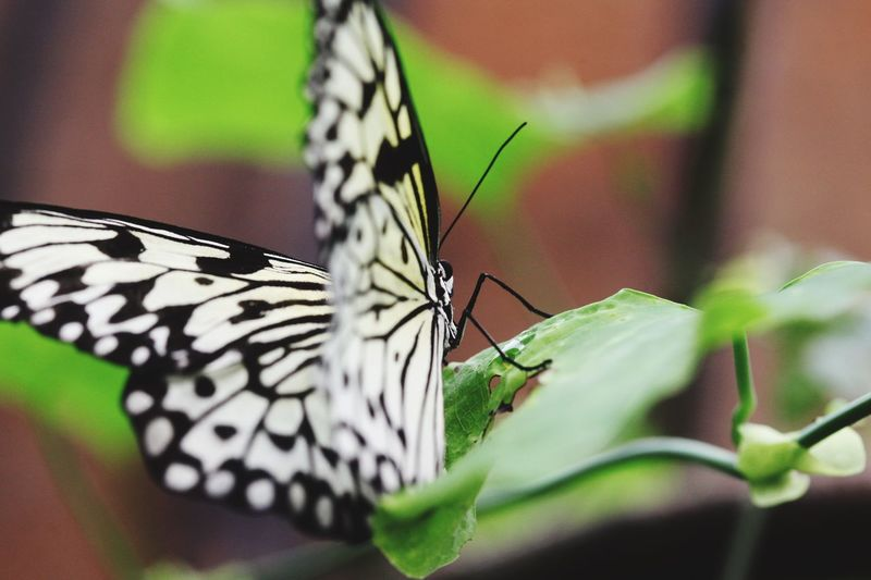 Butterfly drinking hole. Butterfly Insect Animal Themes Animals In The Wild Butterfly - Insect Animal Wing One Animal Animal Wildlife Close-up Leaf Animal Markings No People Fragility Beauty In Nature Spread Wings Perching
