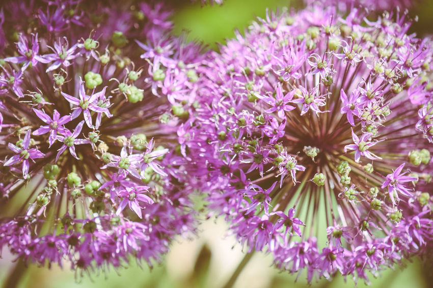 Beauty In Nature Close-up Colorful Flower Balls Flower Explosion Flower Head Nature Purple Purple Flowers Perennials Star Flowers