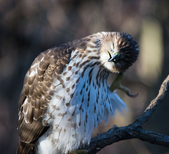 Coopers hawk watching the bird feeders in prospect park, brooklyn