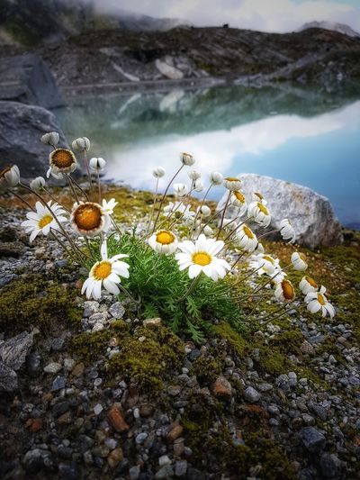 Close-up of white crocus flowers on rock