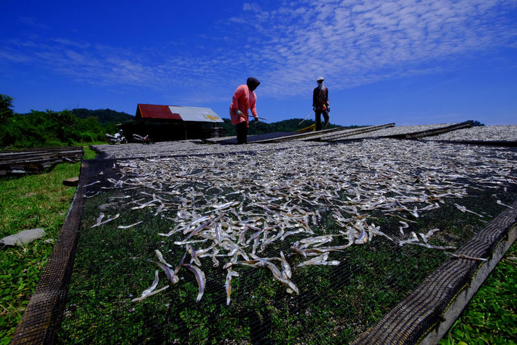 Coastal residents are drying anchovy on the beach, lhok seudu, aceh besar, aceh on 30 mai 2020.