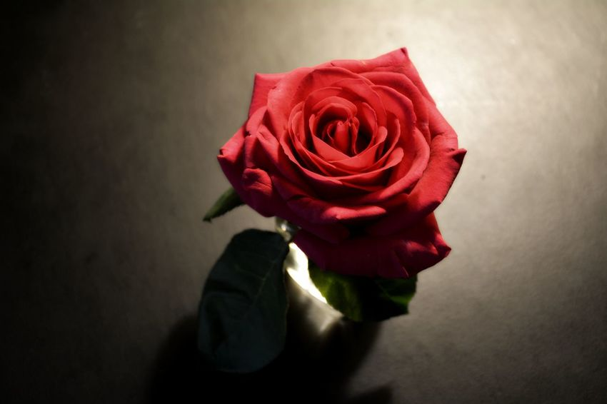 Single Red Rose Single Rose Love Valentine's Day  Valentine Floral Red Flower Rose - Flower Petal Flower Head Fragility No People Beauty In Nature Bouquet Close-up Rose Petals Indoors  Blooming