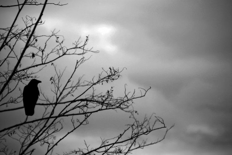 EyeEmNewHere Animal Themes Animal Wildlife Animals In The Wild Bare Tree Beauty In Nature Bird Branch Cloud - Sky Day Low Angle View Nature No People Bnw_of_our_world Bwoftheday Blackandwhite Bnw_captures Black And White PhotographyOne Animal Outdoors Perching Raven - Bird Silhouette Sky Tree Perspectives On Nature