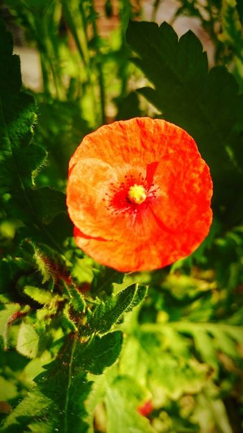 Taking Photos Beautiful Nature Poppy Flowers At Home Sweet Home Relaxing Enjoying Life Me Happy 😊😊😊 Lovelovelove