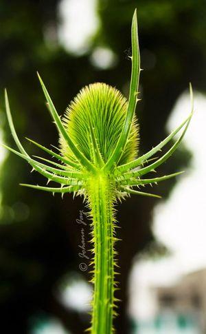 La Petite Ceinture Macrophotography Macro Nature Macro_flower Chardons Macro_collection Macro Nature_collection Nature Fleurs