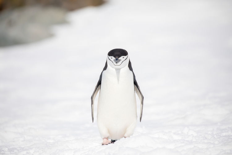 Penguin perching on snowy field