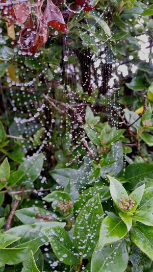 Spiderweb Water Wet Close-up Rain Outside Beauty In Nature Purity Dew Fragility Spiders