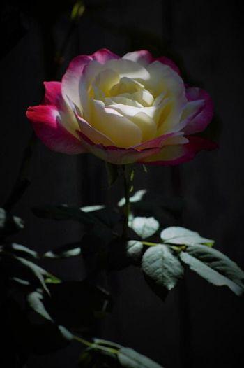 Rosé Flower Flowering Plant Plant Fragility Beauty In Nature Vulnerability  Petal