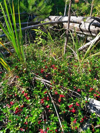 Foxberry Tree Full Frame Close-up Grass Plant Branch Growing Bare Tree Woods Tree Trunk Berry Fruit Dead Plant