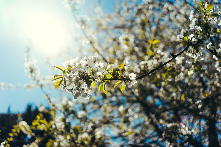 Wild Cherry tree with white blossoms against blue sky and sunshine Flower Flowering Plant Fragility Vulnerability  Plant Beauty In Nature Freshness Nature Growth Close-up No People Day Flower Head Blossom Springtime Cherry Blossom Cherry Trees In Blossom Cherry Tree