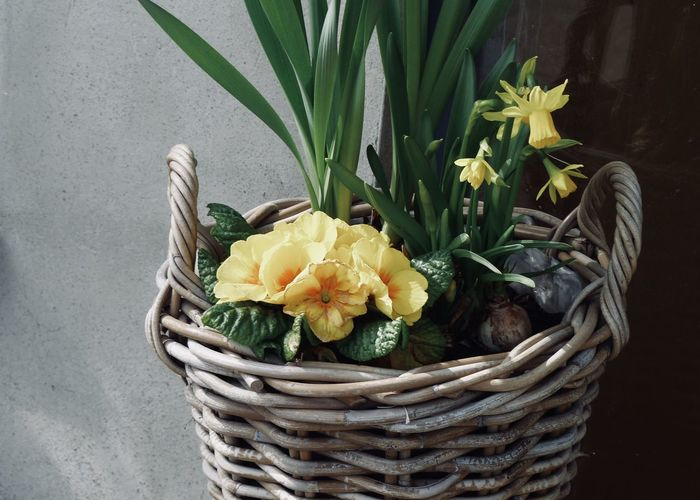spring flowers in a wicker Cottage Primrose Narcissus Bud Bulb Copy Space Backgrounds Basket Beauty In Nature Bouquet Close-up Container Decoration Flower Flower Arrangement Flower Head Flower Pot Flowering Plant Fragility Freshness Green Color Growth Inflorescence Nature No People Petal Plant Spring Wicker Yellow